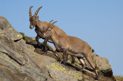 Ibex or goats on mountains. Female and male ibex or goats on steep, rocky mountainside with blue sky background Stock Photography