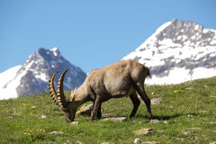 Ibex With Mountains In Background in Swiss Alps Stock Photo