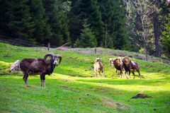 Ibex on a green meadow Stock Photography