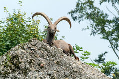 Ibex on the Hill Stock Images