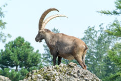 Ibex on the Hill Royalty Free Stock Photo