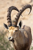 Ibex in Israel. Nubian ibex in Ein Gedi at the Dead Sea. Israel Stock Photography