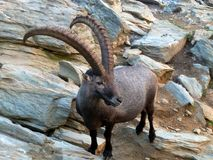 Ibex living in the Swiss Alps. Male Ibex with huge horns, living in the Swiss Alps Stock Photography