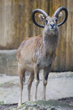 Ibex long horn sheep deer Stock Photography