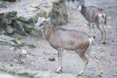 Ibex long horn sheep deer Royalty Free Stock Photos