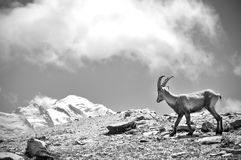 Ibex looking at Mont Blanc. An ibex looking at Mont Blanc near Chamonix Royalty Free Stock Images