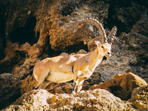 An Ibex in Lower Wadi David Park Royalty Free Stock Image