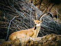 An Ibex in Lower Wadi David Park Stock Photo