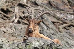 Ibex. Lying on a rock Royalty Free Stock Photo