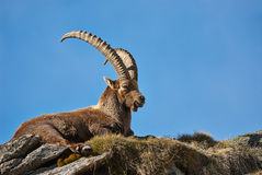 Ibex. Lying on top of the mountain in Italy Stock Images