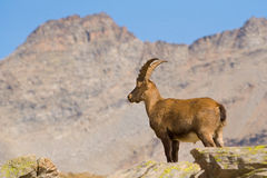 Ibex male with high mountain background Stock Images