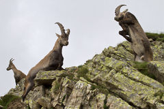 Ibex males fighting stock images