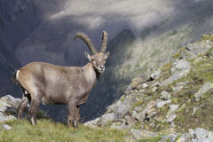 Ibex males at sunset. Male ibex in a mountain in the Alps Royalty Free Stock Photos