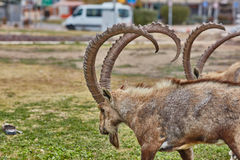 Ibex in Mitzpe Ramon, Israel Royalty Free Stock Photo