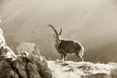 Ibex in the morning light Stock Images