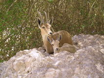 Ibex Mother and Kid. Mother and baby Ibex, Negev desert, Israel stock photos
