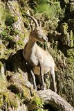 Ibex in the mountain Stock Photos