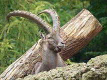 Ibex mountain or alpine (Capra ibex) stock photo