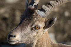 Ibex or Mountain Goat. Portrait of a wild Ibex or Mountain Goat.  Genus:  Capra Royalty Free Stock Images
