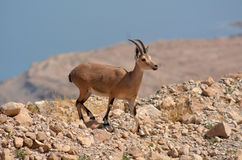 Ibex Mountain goat Stock Photography