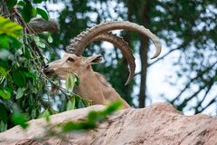 An ibex mountain goat steinbock bouquetin Capra ibex while feed. Ing on leaves on top of a mountain. Colorful wildlife photo of nature with green background royalty free stock photo
