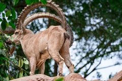 An ibex mountain goat steinbock bouquetin Capra ibex while feed. Ing on leaves on top of a mountain. Colorful wildlife photo of nature with green background stock images