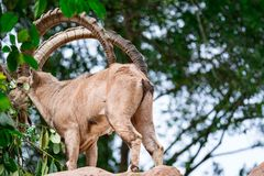An ibex mountain goat steinbock bouquetin Capra ibex while feed. Ing on leaves on top of a mountain. Colorful wildlife photo of nature with green background royalty free stock images