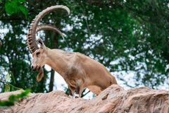 An ibex mountain goat steinbock bouquetin Capra ibex while feed. Ing on leaves on top of a mountain. Showing its very huge strong horns stock image