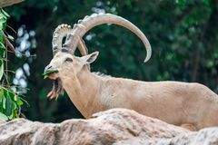 An ibex mountain goat steinbock bouquetin Capra ibex while feed. Ing on leaves on top of a mountain. Showing its very huge strong horns royalty free stock images