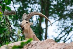 An ibex mountain goat steinbock bouquetin Capra ibex while feed. Ing on leaves on top of a mountain. Showing its very huge strong horns royalty free stock image