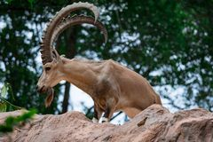 An ibex mountain goat steinbock bouquetin Capra ibex while feed. Ing on leaves on top of a mountain. Showing its very huge strong horns royalty free stock photo