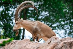 An ibex mountain goat steinbock bouquetin Capra ibex while feed. Ing on leaves on top of a mountain. Showing its very huge strong horns stock photography
