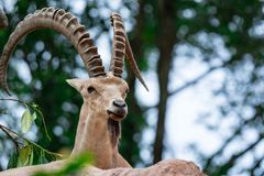 An ibex mountain goat steinbock bouquetin Capra ibex while feed. Ing on leaves on top of a mountain. Showing its very huge strong horns stock photo