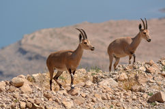 Ibex Mountain goats Royalty Free Stock Images