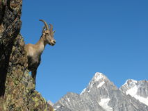 Ibex near Chamonix, France. An ibex near Chamonix mountains Royalty Free Stock Photos