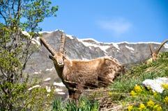 Ibex near Champagny en Vanoise. A male ibex on a slope, with Champagny en Vanoise mountains behind Royalty Free Stock Photo