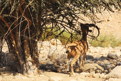 Ibex Nubian в Ein Gedi (Nahal Arugot) на мертвом море, Израиле Стоковая Фотография RF