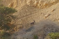 Ibex Nubian идет в Nahal Shani, красный каньон около Eilat Стоковая Фотография