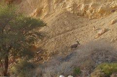 Ibex Nubian идет в Nahal Shani, красный каньон около Eilat Стоковые Фотографии RF