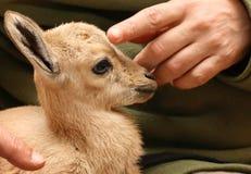 ibex nubian Стоковые Фотографии RF