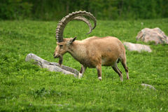 ibex nubian Стоковые Фото