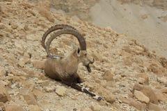 ibex nubian Стоковое Изображение RF