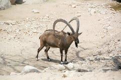 Ibex, Nubian (Capra i.) Stock Images