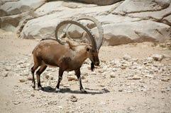 Ibex, Nubian (Capra ibex) Royalty Free Stock Image