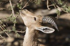Ibex Nubian, Ein Gedi на мертвом море, Израиле Стоковая Фотография RF