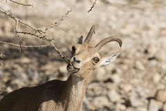 Ibex Nubian, Ein Gedi на мертвом море, Израиле Стоковые Фото