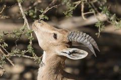 Ibex Nubian, Ein Gedi на мертвом море Стоковые Изображения