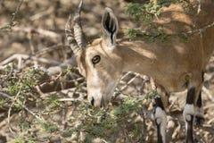 Ibex Nubian, Ein Gedi на мертвом море Стоковое Изображение