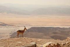 Ibex On The Cliff In Desert.