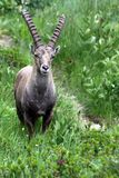 Ibex on our road Royalty Free Stock Images